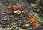 Sally Lightfoot Crab. Their conflicts are not territorial, but rather culinary. These crabs are cannibalistic.