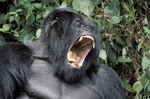 Mountain gorilla in Rwanda,