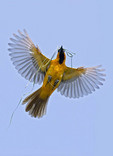 ALTAMIRA ORIOLE IN FLIGHT