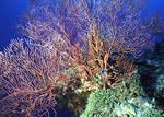 Fan coral in ocean