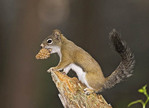 Red Squirrel with an pine cone in mouth