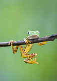 Monkey Treefrog hanging on a branch