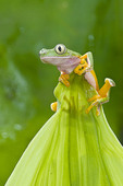 Monkey Treefrog  on top of a leaf