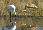 Whooping Cranes at water