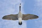 Canada Goose flying overhead