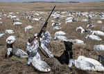 Snow goose hunter and dog in a filed of decoys