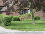 Deer in Suburbia front yard of home