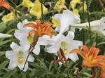 White, yellow and orange day lillies