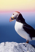 Atlantic Puffin at sunrise