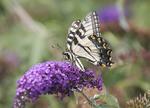 Yellow swallowtail butterfly on a butterfly bush bloom