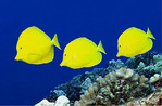 Yellow Tangs swimming off coast of Hawaii