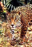 Jaguar in Central American country of Belize