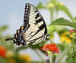 Eastern Tiger Swallowtail butterfly on a flower
