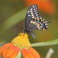 Black Swallowtail butterfly on a flower