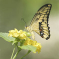 Giant Swallowtail butterfly on a yellow flower