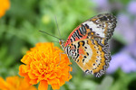 Lacewing butterfly on a Marigold flower