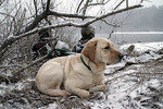 Cooper  yellow labrador retriever bird hunting NH