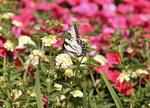 Yellow swallowtail butterfly in field of flowers