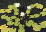 Waterlily with white blooming flower