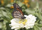 Monarch butterfly in a Zinnia flower