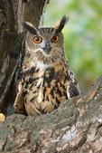 Male Eurasian eagle-owl perched on a limb, 4 yrs old, captive.