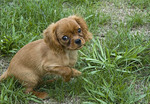 A King Charles Spaniel playing in the grass