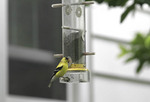 American goldfinch at feeder outside bedroom window