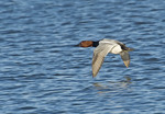 Male canvasback in flight