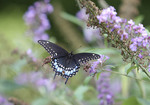 Black Tiger Swallowtail on a butterfly bush bloom