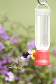 Black-chinned Hummingbird at Feeder