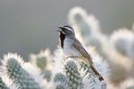 Black throated Sparrow on Cholla Cactus