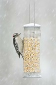 Downy Woodpecker on Feeder in Snow