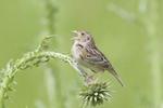 Grasshopper Sparrow singing