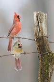 Northern Cardinals on Fence in Winter