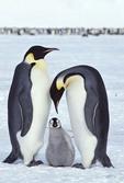 Emperor penguins in Antarctica, Dawson-Lambton Glacier