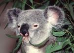Koala bear eating eucalyptus leaves