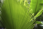 Large fern in Tropical rain Forest