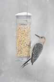 Female Red-bellied Woodpecker on feeder in Snow