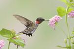 Ruby throated Hummingbird in Lantana