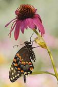 Eastern Black Swallowtail on a purple cone flower.