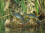 Adult Red-eared Slider turtles