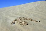 Sidewinder in Anza-Borrego Desert State Park, California    Viperidae: Crotalinae