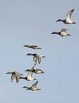 Canvasback ducks  flock flying