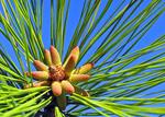 Pine tree blooming