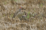 Woodpeckers mating in the grass