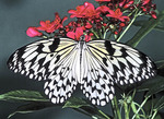 RICE PAPER BUTTERFLY Idea leuconoe