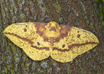 IMPERIALL MOTH