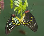 CAIRN'S BIRDWING  mating pair