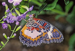 RED LACEWING Cethosia