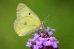 Clouded Sulphur on purple flower